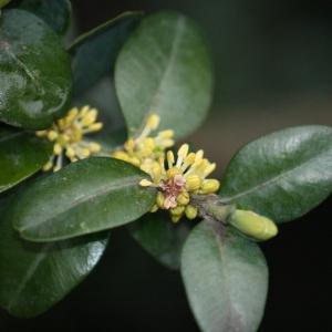 Photographie n°108462 du taxon Buxus sempervirens L.