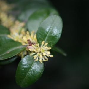 Photographie n°108464 du taxon Buxus sempervirens L. [1753]