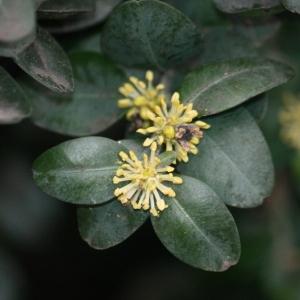 Photographie n°108465 du taxon Buxus sempervirens L. [1753]