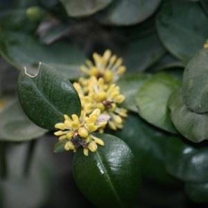 Photographie n°108467 du taxon Buxus sempervirens L.