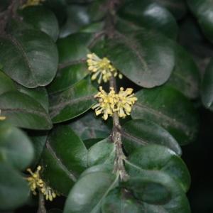Photographie n°108468 du taxon Buxus sempervirens L. [1753]