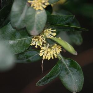 Photographie n°108470 du taxon Buxus sempervirens L.