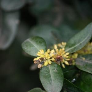 Photographie n°108471 du taxon Buxus sempervirens L. [1753]