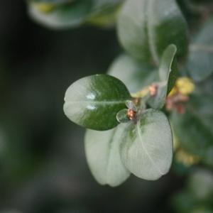 Photographie n°108473 du taxon Buxus sempervirens L. [1753]