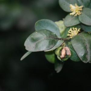 Photographie n°108474 du taxon Buxus sempervirens L. [1753]