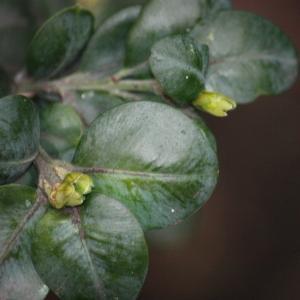 Photographie n°108475 du taxon Buxus sempervirens L.