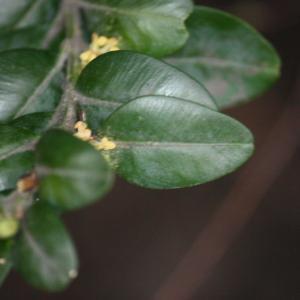Photographie n°108476 du taxon Buxus sempervirens L. [1753]