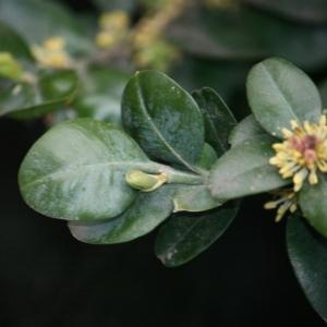 Photographie n°108477 du taxon Buxus sempervirens L.