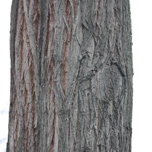 Photographie n°108523 du taxon Robinia pseudoacacia L.