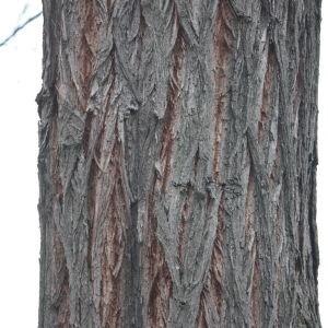 Photographie n°108524 du taxon Robinia pseudoacacia L.