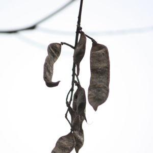 Photographie n°108533 du taxon Robinia pseudoacacia L.