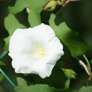 Photographie n°108643 du taxon Calystegia sepium (L.) R.Br.