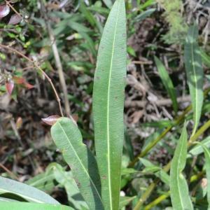 Photographie n°108671 du taxon Nerium oleander L. [1753]