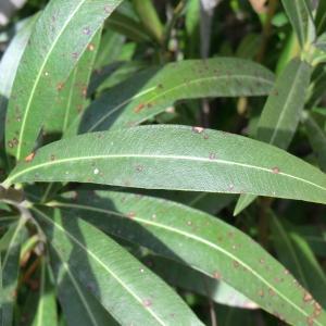 Photographie n°108677 du taxon Nerium oleander L. [1753]