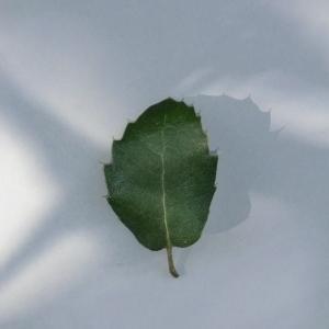 Photographie n°108781 du taxon Quercus ilex L. [1753]