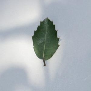 Photographie n°108782 du taxon Quercus ilex L. [1753]
