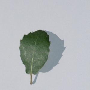 Photographie n°108785 du taxon Quercus ilex L. [1753]