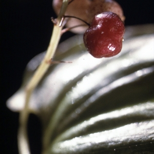 Photographie n°109118 du taxon Maianthemum bifolium (L.) F.W.Schmidt [1794]
