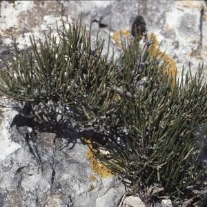 Photographie n°109121 du taxon Ephedra nebrodensis Tineo