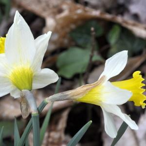 Narcissus bicolor L. (Two-coloured Daffodil)