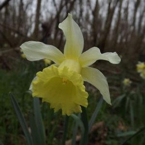 Photographie n°109140 du taxon Narcissus pseudonarcissus L. [1753]