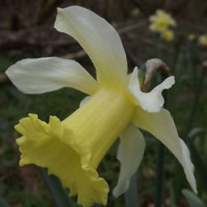 Photographie n°109141 du taxon Narcissus pseudonarcissus L. [1753]