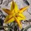 Michel DÉmares - Tulipa sylvestris subsp. australis (Link) Pamp.