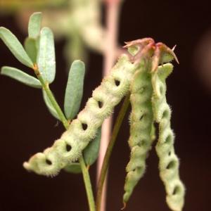 Photographie n°109179 du taxon Hippocrepis ciliata Willd.
