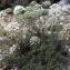 Liliane Roubaudi - Laserpitium gallicum L.