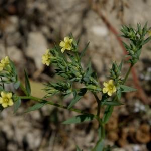 Photographie n°109197 du taxon Linum strictum L.