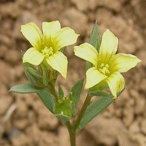 Photographie n°109200 du taxon Linum strictum L.