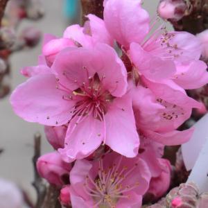 Prunus persica (L.) Batsch (Pêcher)