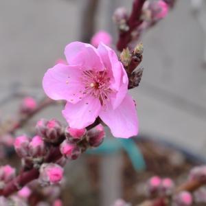 Photographie n°109412 du taxon Prunus persica (L.) Batsch