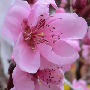 Photographie n°109415 du taxon Prunus persica (L.) Batsch