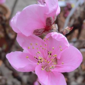 Photographie n°109416 du taxon Prunus persica (L.) Batsch