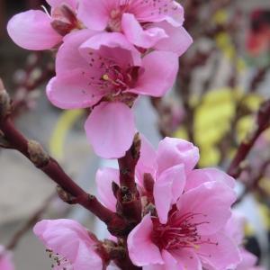 - Prunus persica (L.) Batsch