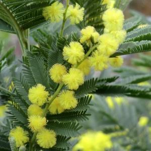 Photographie n°109422 du taxon Acacia dealbata Link [1822]