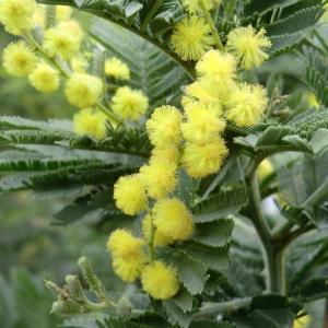 Photographie n°109423 du taxon Acacia dealbata Link [1822]