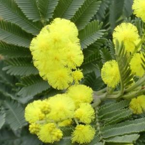 Photographie n°109424 du taxon Acacia dealbata Link [1822]