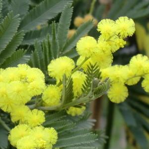 Photographie n°109425 du taxon Acacia dealbata Link [1822]