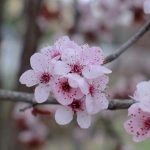 Photographie n°109429 du taxon Prunus cerasifera Ehrh.