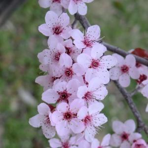 Photographie n°109430 du taxon Prunus cerasifera Ehrh.