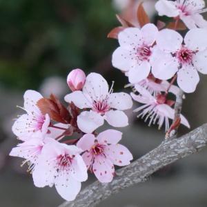 Photographie n°109431 du taxon Prunus cerasifera Ehrh.