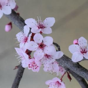 Photographie n°109432 du taxon Prunus cerasifera Ehrh.