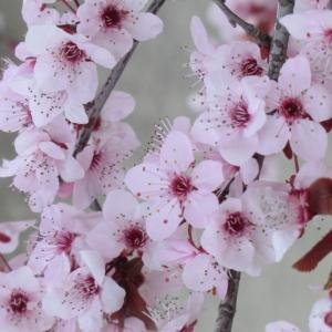 Photographie n°109433 du taxon Prunus cerasifera Ehrh.