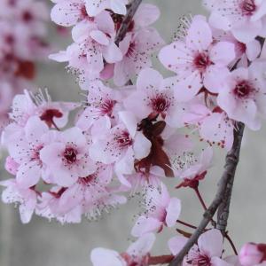 Photographie n°109434 du taxon Prunus cerasifera Ehrh.