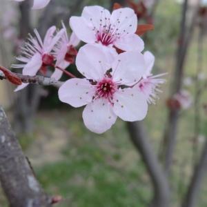 Photographie n°109435 du taxon Prunus cerasifera Ehrh.