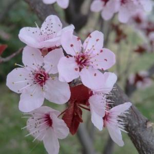 Photographie n°109436 du taxon Prunus cerasifera Ehrh.