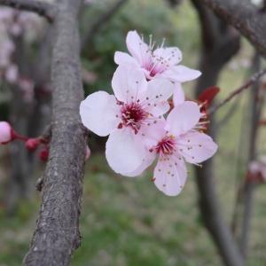 Photographie n°109437 du taxon Prunus cerasifera Ehrh.