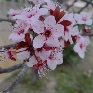 Photographie n°109438 du taxon Prunus cerasifera Ehrh.